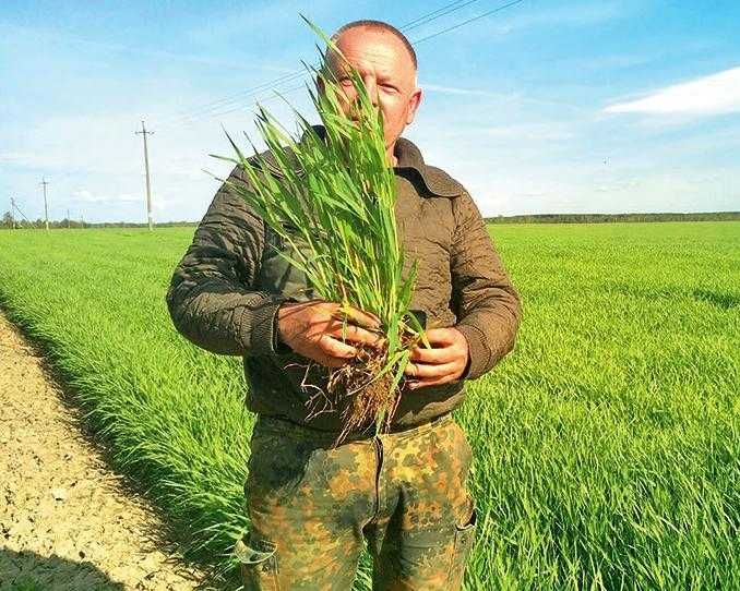 Посів озимої пшениці після застосування препаратів Валагро