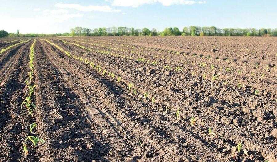 Рис. 1. Сходи кукурудзи на 7-й день після заморозків. Рослини, що перебували в одній фазі на момент приморозку, почали рівномірно відростати