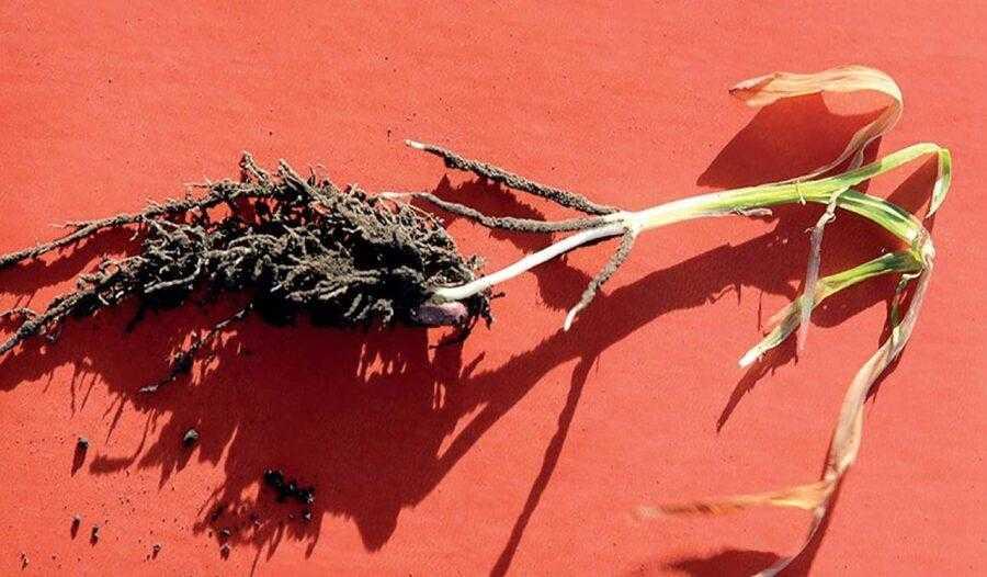 Рис. 2. Точка росту жива, коренева система має хороший розвиток