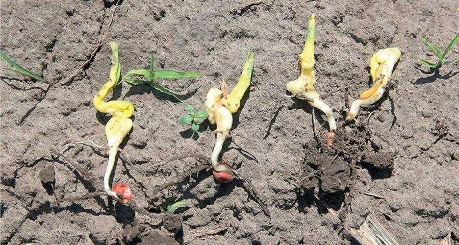 Рис. 3. Деформація паростків кукурудзи спричинена перепадами денних і нічних температур