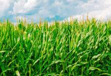Споживання азоту кукурудзою