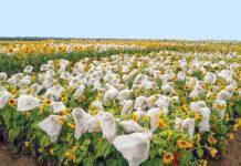 Сучасні тенденції селекції соняшнику