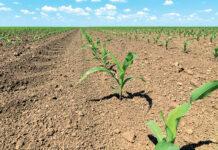 Вплив весняних холодів і морозів на розвиток та урожайність кукурудзи