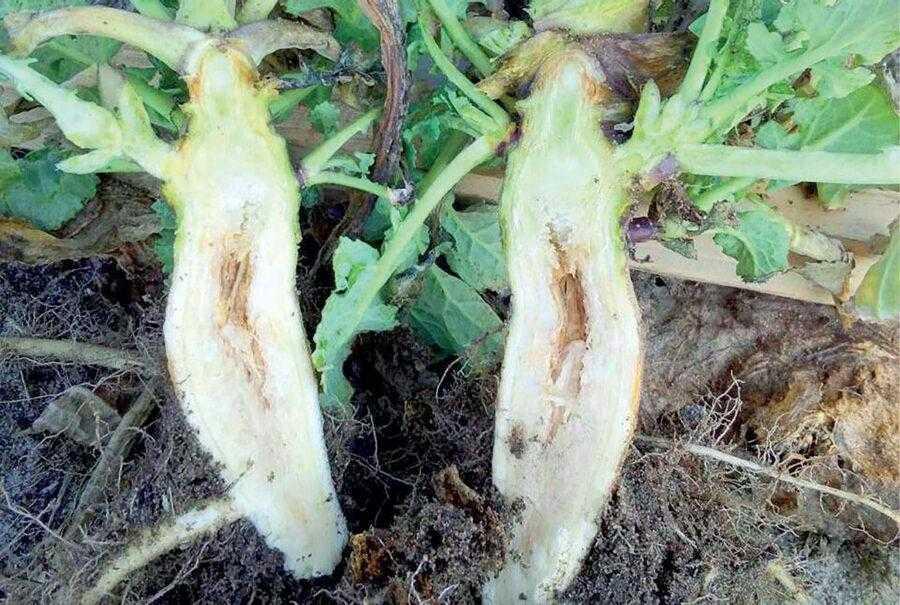 Все полевые работы следует начинать с диагностики растений рапса ранней весной, а также при отращивании в монолитах. На фото – признаки недостатка бора на рапсе. Необходимы подкормки борными удобрениями