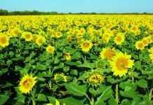 За якою технологією у ТОВ «Агро-Регіон Україна» вирощують соняшник