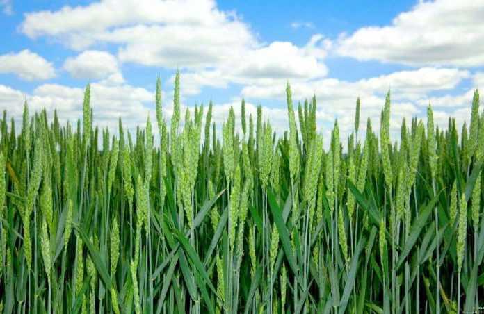 Шляхи ефективного використання азоту в технологіях вирощування зернових культур