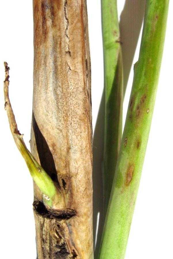 Зовнішні ознаки проявлення фомозу на стеблах і гілках