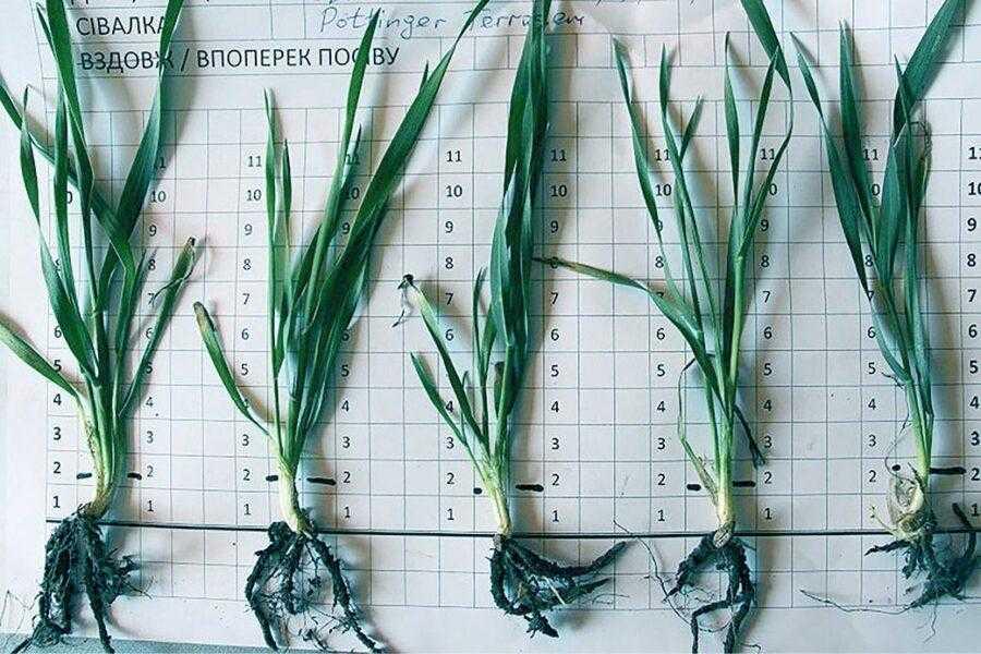 Посіви з міжряддям 12,5 см. На рослинах по два продуктивних стебла