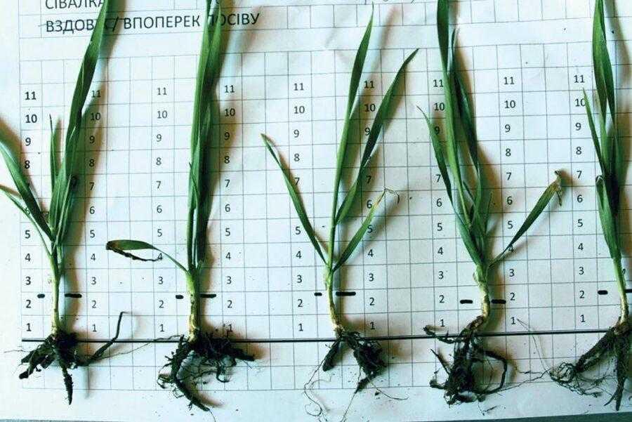 Посіви з міжряддям 19 см. На рослинах по одному продуктивному стеблу