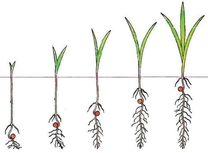 Влияние глубины заделки семян в почву на прорастание и развитие проростков