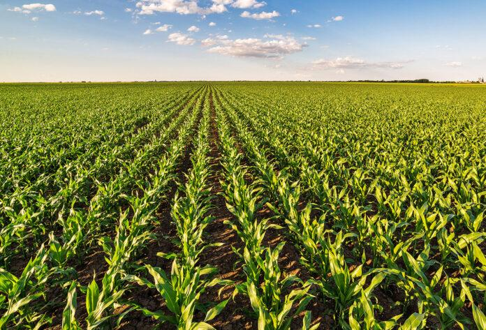 Інноваційні рішення від UPL для контролю бур'янів у посівах кукурудзи