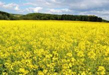 Особливості моніторингу і контролю квіткоїдів на ріпаку та гірчиці