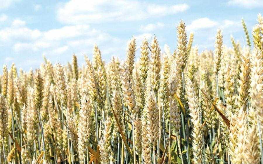 Приріст урожаю зерна пшениці, розміщеної після кращих попередників, може досягати 0,7–1 т/га і більше порівняно з розміщенням її після стерньових попередників