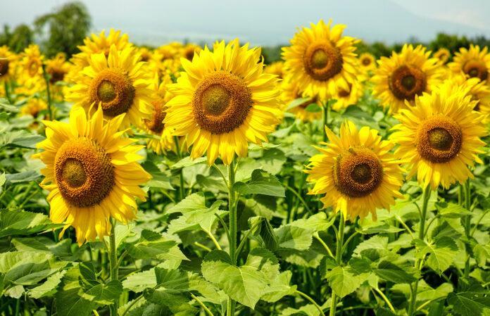 Раціонально та ефективно підібрані ґрунтові гербіциди – запорука гарного врожаю
