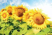 Рентабельність застосування фунгіцидів на соняшнику