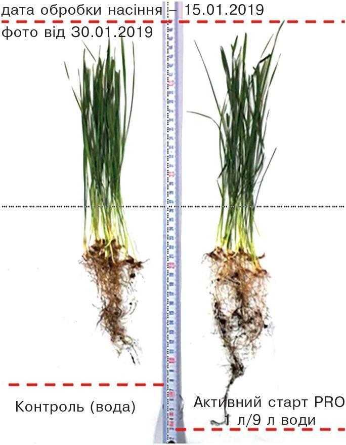 Рис. 1. Вплив передпосівної обробки насіння на розвиток кореневої системи (лабораторія ТОВ «ГК «ЯРИЛО», пшениця озима)