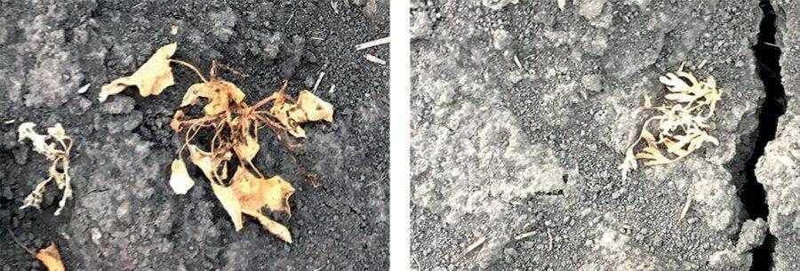 Рис. 6, 7. Некроз листя в результаті застосування комплекту Віжн Нео, 5–7-й день після обробки (1 комплект на 4 га)