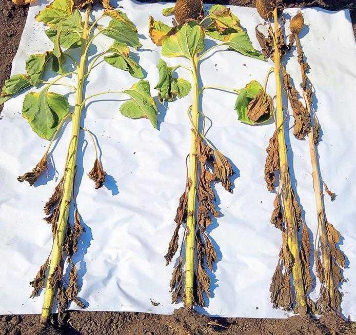 Рис. Зразки рослин із варіантів двократної обробки фунгіцидами в фазу 12 листків та в середину цвітіння: зліва – рослина, оброблена Фоксом, 0,6 л/га та Пропульсом, 1,0 л/га; рослина посередині – Дерозал, 0,5 л/га і Фокс, 0,6 л/га; справа дві рослини – не оброблена ділянка. АгроАрена «Захід» компанії «Байєр», 2019 р.