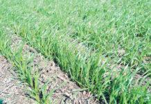 Вплив попередників озимої пшениці на вміст поживних речовин у ґрунті
