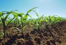 YAk-dopomogty-kukurudzi-podolaty-naslidky-temperaturnogo-stresu