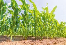 Захист кукурудзи від бур'янів залежно від способів обробітку ґрунту