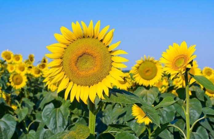 Мінеральне живлення соняшнику для отримання високого урожаю