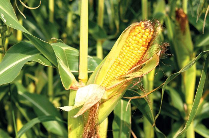 Ампліго 150 ZC, ф. к. – надійний захист кукурудзи від лускокрилих шкідників