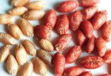 Ефективні сучасні протруйники на зернових культурах