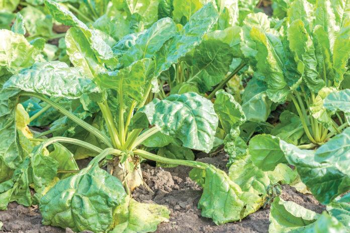Хвороби листя цукрових буряків та їх контроль