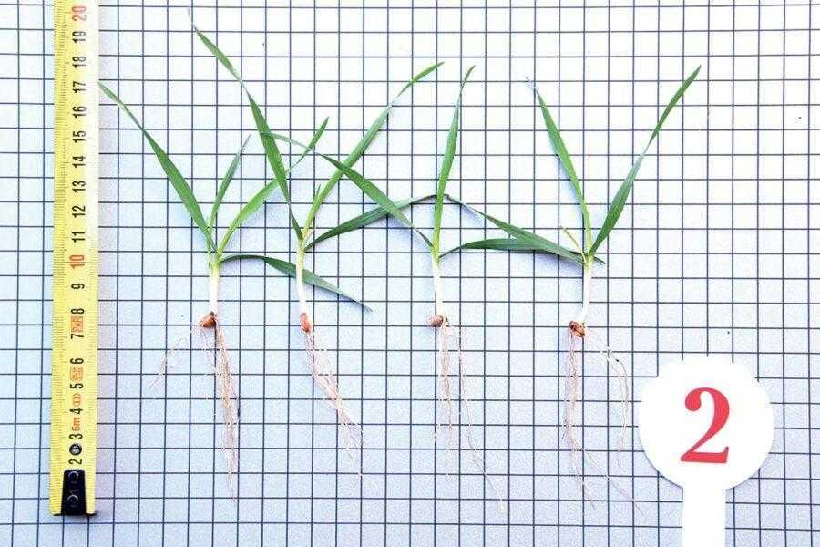 Рис. 2. Вплив Ламардор® Про на розвиток сходів пшениці