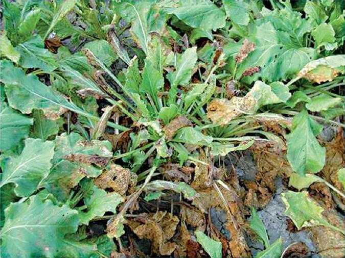 Рис. 4. Всі хвороби листя призводять до зменшення фотосинтетичної поверхні. При церкоспорозі та рамулярії відростання розеток листя значно знижує врожайність цукрових буряків