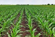 Технологія підживлення кукурудзи макро- і мікроелементами