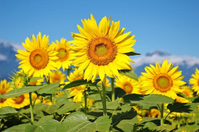 Топ чинників, які лімітують врожайність соняшнику