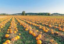 Вплив схем розміщення рослин гарбуза на урожайність