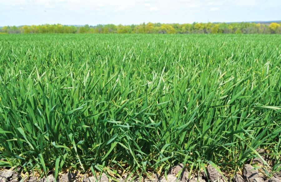 Враховуючи аномальну цьогорічну зиму, на озимій пшениці було проведено додаткову фунгіцидну обробку у фазу Т0, що дало змогу зменшити негативний вплив від хвороб, пошкоджень заморозками та шкідниками
