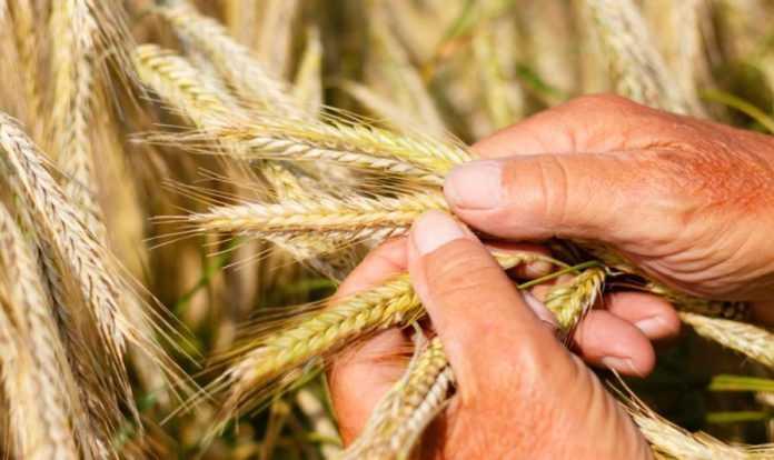 Як підвищити якість зерна пшениці в умовах кліматичних змін