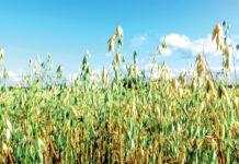 10 порад для успішного вирощування вівса