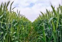 Елементи порушення технології вирощування с/г культур, які неможливо виправити під час вегетації