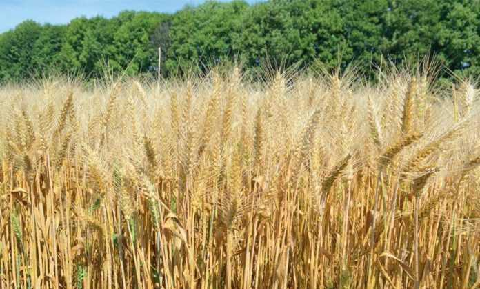 Вплив мінеральних добрив і попередників на витрати води пшеницею та її продуктивність