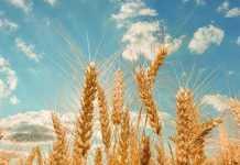 Як виростити 70 ц/га пшениці в степу – досвід господарства