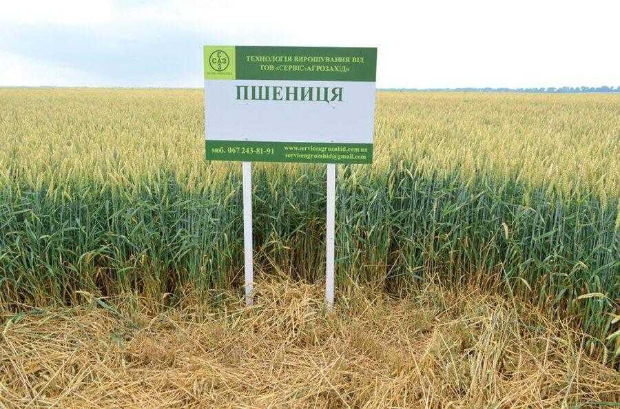 Озима пшениця-а
