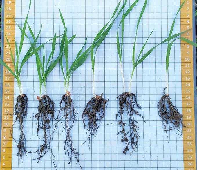 Рослини з насіння протруєного Віал Тріо і Табу Нео
