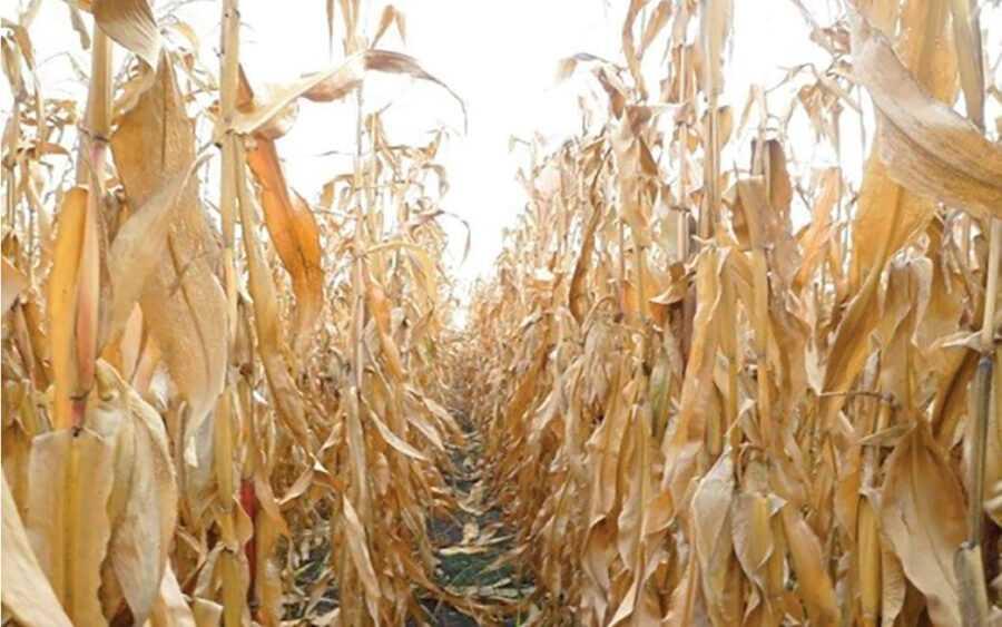 Рис. 5. Посів кукурудзи на 14 день після десикації