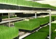Вертикальні ферми можуть підвищити врожайність пшениці в 600 разів