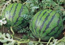 Ефективне овочівництво разом з «Тімак Агро Україна»