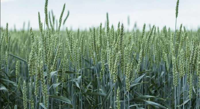 Ефективність азотного удобрення озимої пшениці залежить від сірки