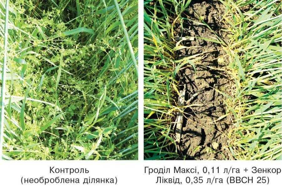 Ефективність гербіцидної системи захисту озимої пшениці за осіннього застосування (осінь 2014), фото весна 2015 року