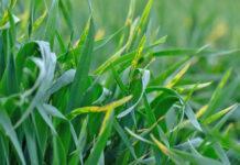Грибні хвороби зернових культур