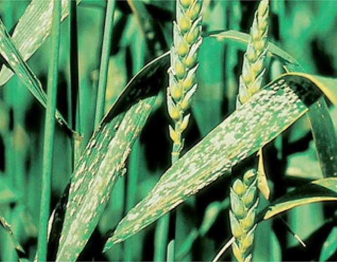 Масове ураження посівів пшениці борошнистою росою