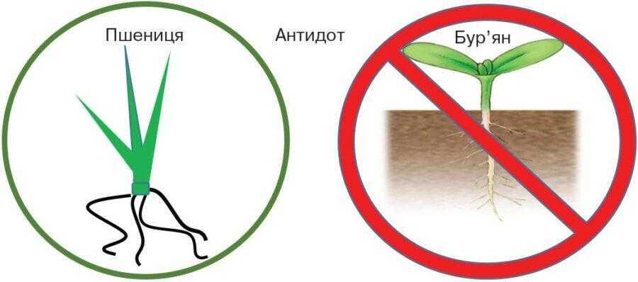 Мефенпір забезпечує захист пшениці, але при цьому не захищає бур'яни